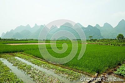 Paddy field in Guilin