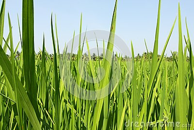 Paddy field, rice