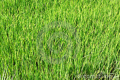 Paddy field, rice