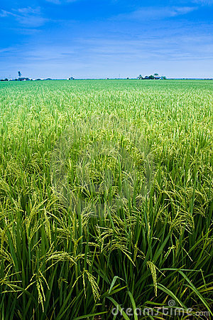 Free Paddy Field With Yet To Ripen Grain And Blue Sky Royalty Free Stock Photo - 11808035