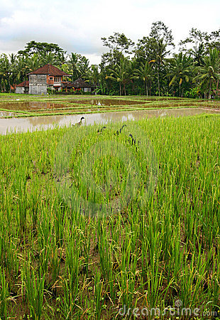 Paddy fields and house