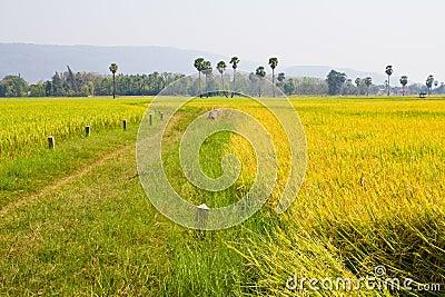 Paddy land