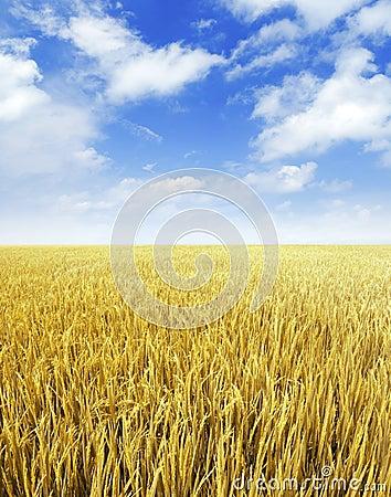 Free Paddy Rice Field Stock Photography - 11444092