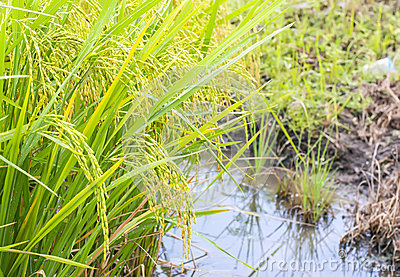 Paddy rice , rice plant in field and drops of rain water