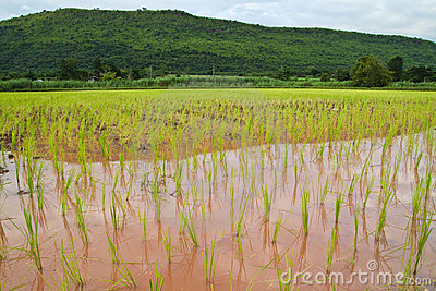 Paddy and the rice seedlings