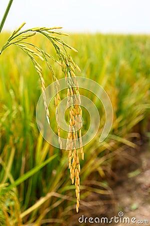 Paddy stalk