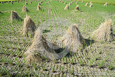 Paddy straw on farmland