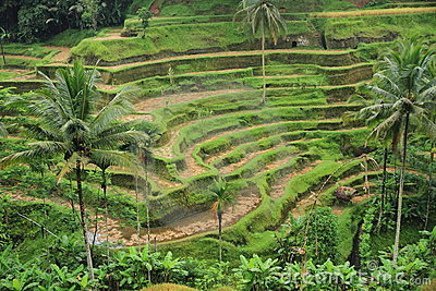 Paddy terrace