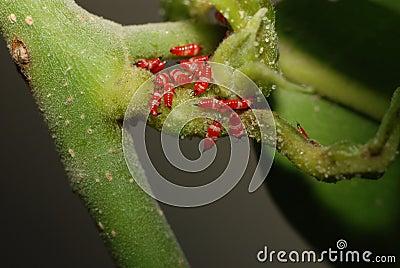 Paederus dermatitis caterpillar