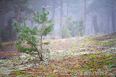 Paesaggio nebbioso della foresta