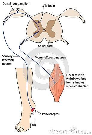 how to draw diagram of reflex arc