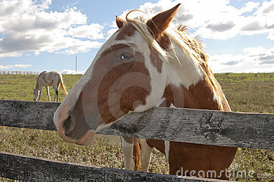 Paint Horse On Behind A Farm Fence. Stock Image - Image: 16963291