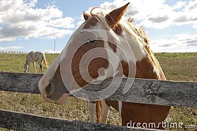 Paint horse on behind a farm fence.