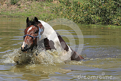 Paint Horse swimming in dam