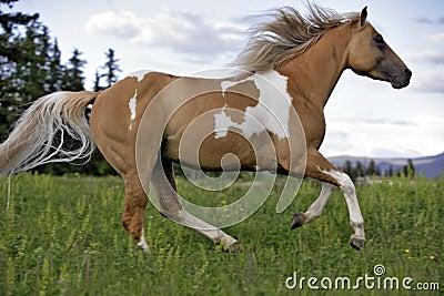 Paint Palomino Stallion