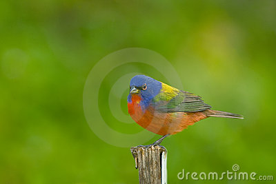 A Painted Bunting perched