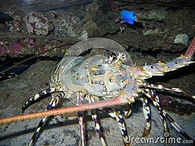 Painted_Crayfish