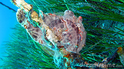 Painted Frogfish or Anglerfish,Antennarius pictus