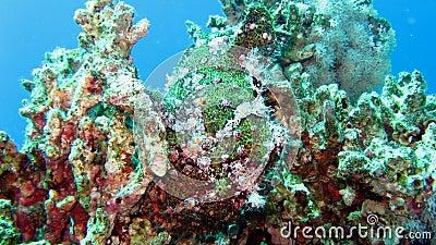 Painted Frogfish or Anglerfish,Antennarius pictus