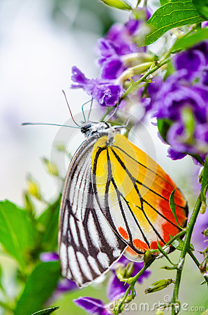 Free Painted Jezebel Colorful Butterfly Stock Photography - 71575632
