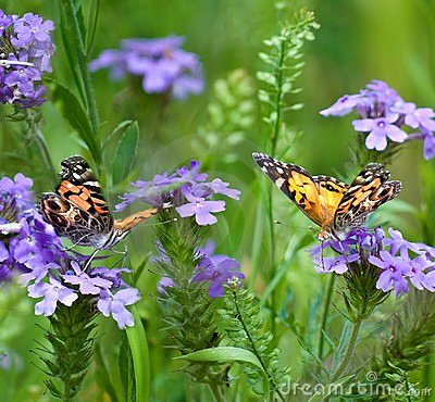 Free Painted Lady Butterflies Royalty Free Stock Photos - 14839208
