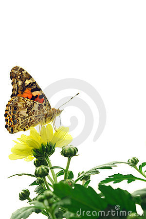 Free Painted Lady Butterfly Royalty Free Stock Photo - 11044465