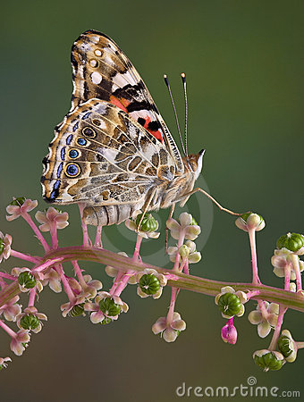 Free Painted Lady Butterfly Stock Photo - 15091080