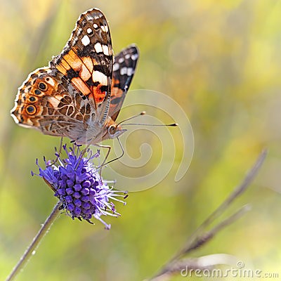 Free Painted Lady Butterfly Royalty Free Stock Photos - 33612498