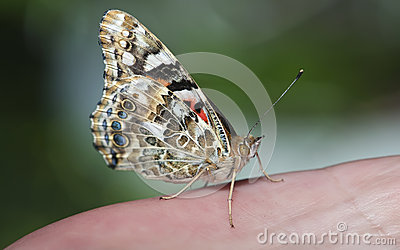 Painted Lady on hand