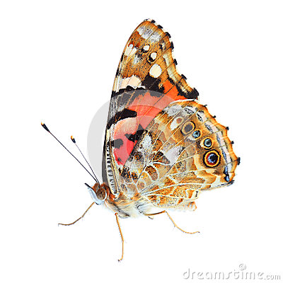Free Painted Lady (Vanessa Cardui) On White Stock Images - 32481564