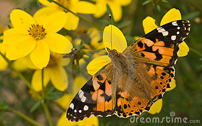 Painted lady on yellow flowers in summer