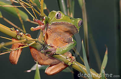 Painted monkey frog