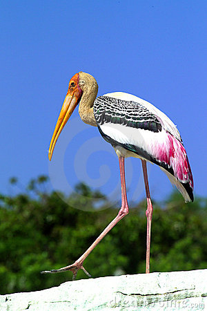 Free Painted Stork Royalty Free Stock Photos - 7881098