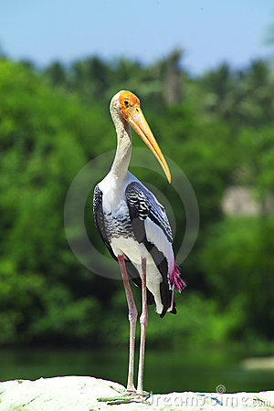 Free Painted Stork Royalty Free Stock Photo - 7893235