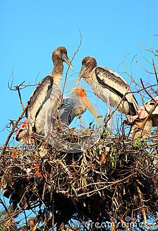 Painted stork family