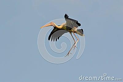 Painted Stork in midair (Ibis leucocephalus)