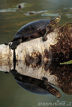 Free Painted Turtle Stock Images - 1455244