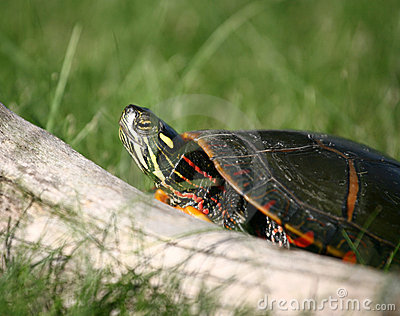 Painted Turtle Climbing over Log