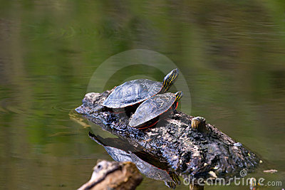 Painted Turtle on a Floating Log