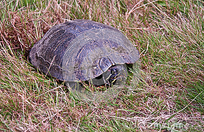 Painted Turtle Laying Eggs in Grass