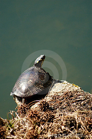 Painted Turtle Perched