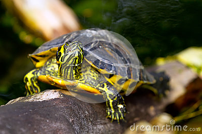 Painted turtle in wildlife