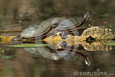 Painted Turtles Reflecting in the Water