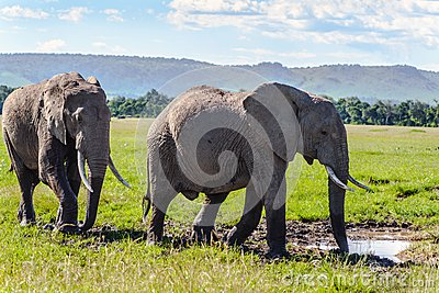 Pair of African elephant