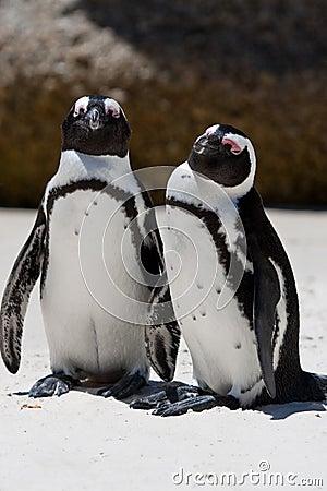 Pair of African (Jackass) Penguins