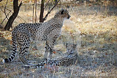 Pair of African Wild Cheetah