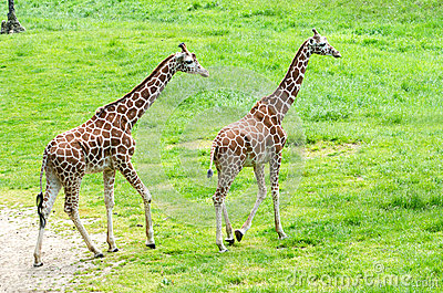 Pair of articulated giraffes
