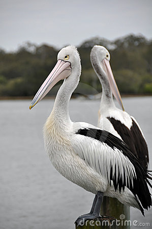 Pair of Australian Pelicans