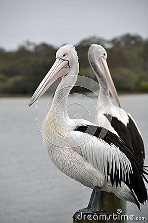 Pair of Australian Pelicans