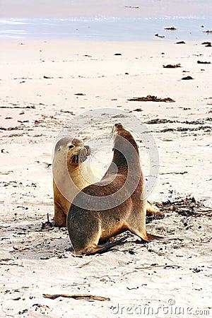 Pair of Australian sea lions (Neophoca cinerea)